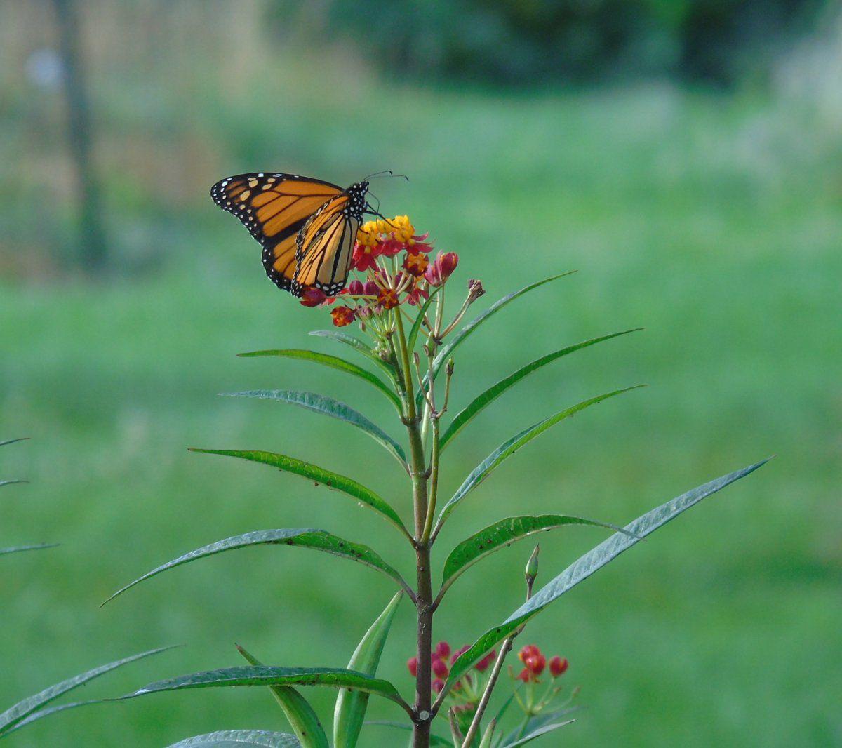monarch 7 better.JPG