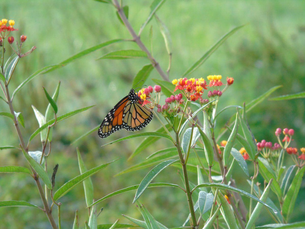 monarch 8.JPG
