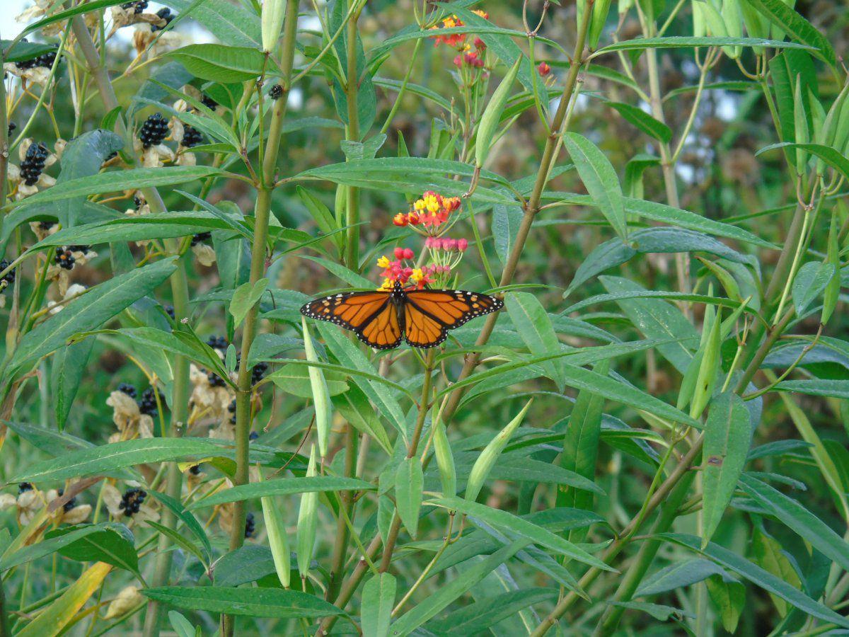 monarch male .JPG
