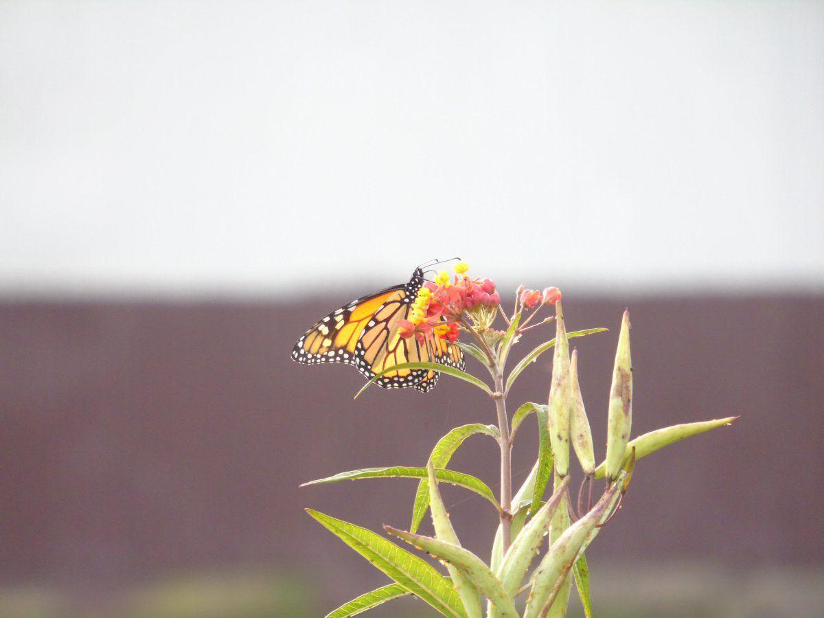 monarch on tropical MW.JPG