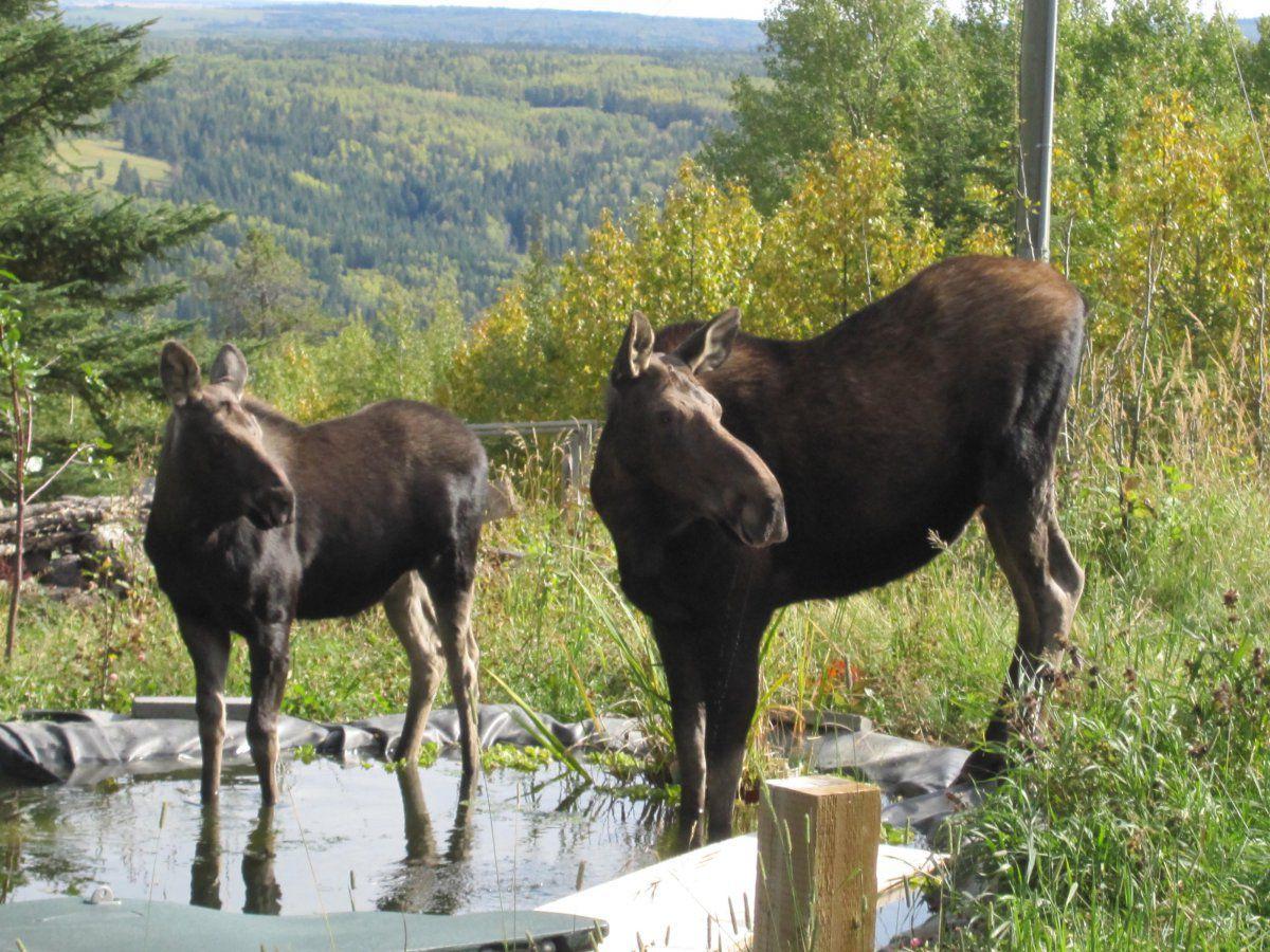 Moose visit-08.jpg