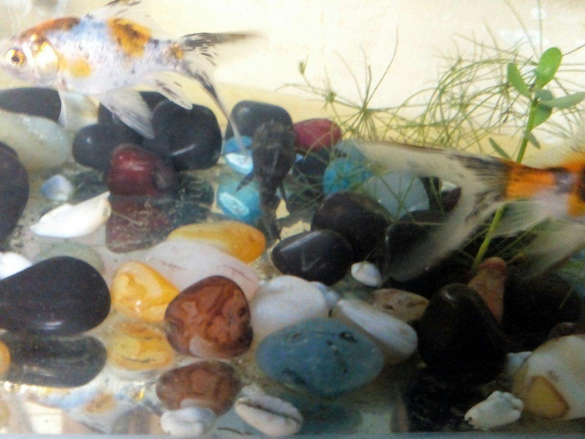 my goldfish33.jpg