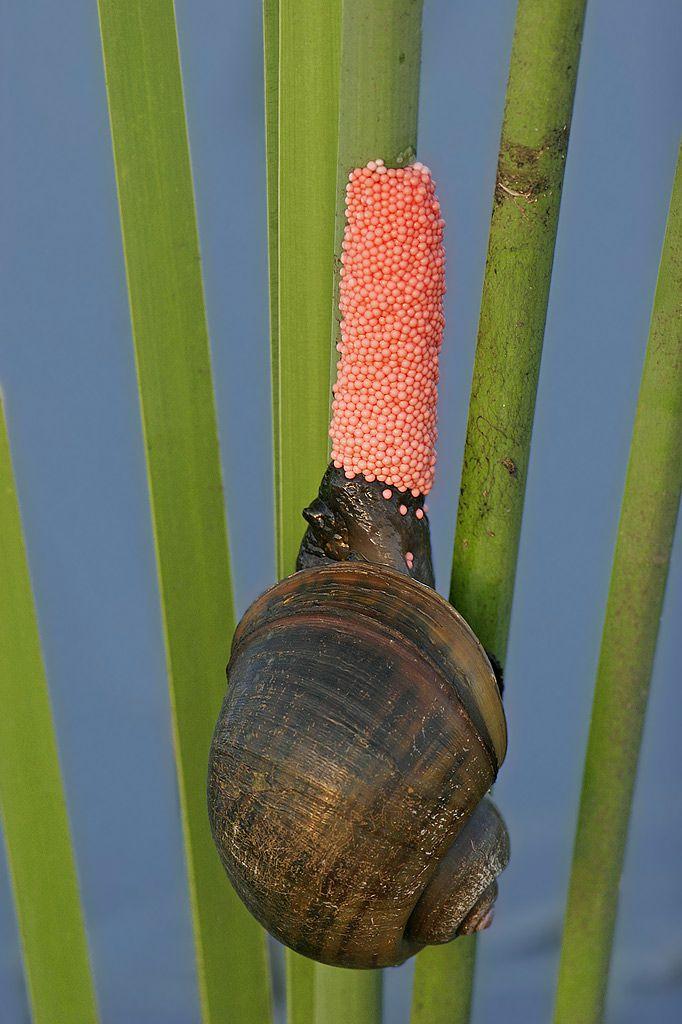 Mystery snail eggs.jpg