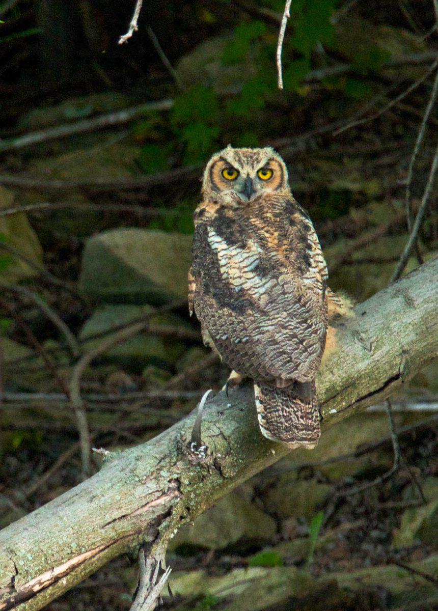 Owl (1 of 1).jpg