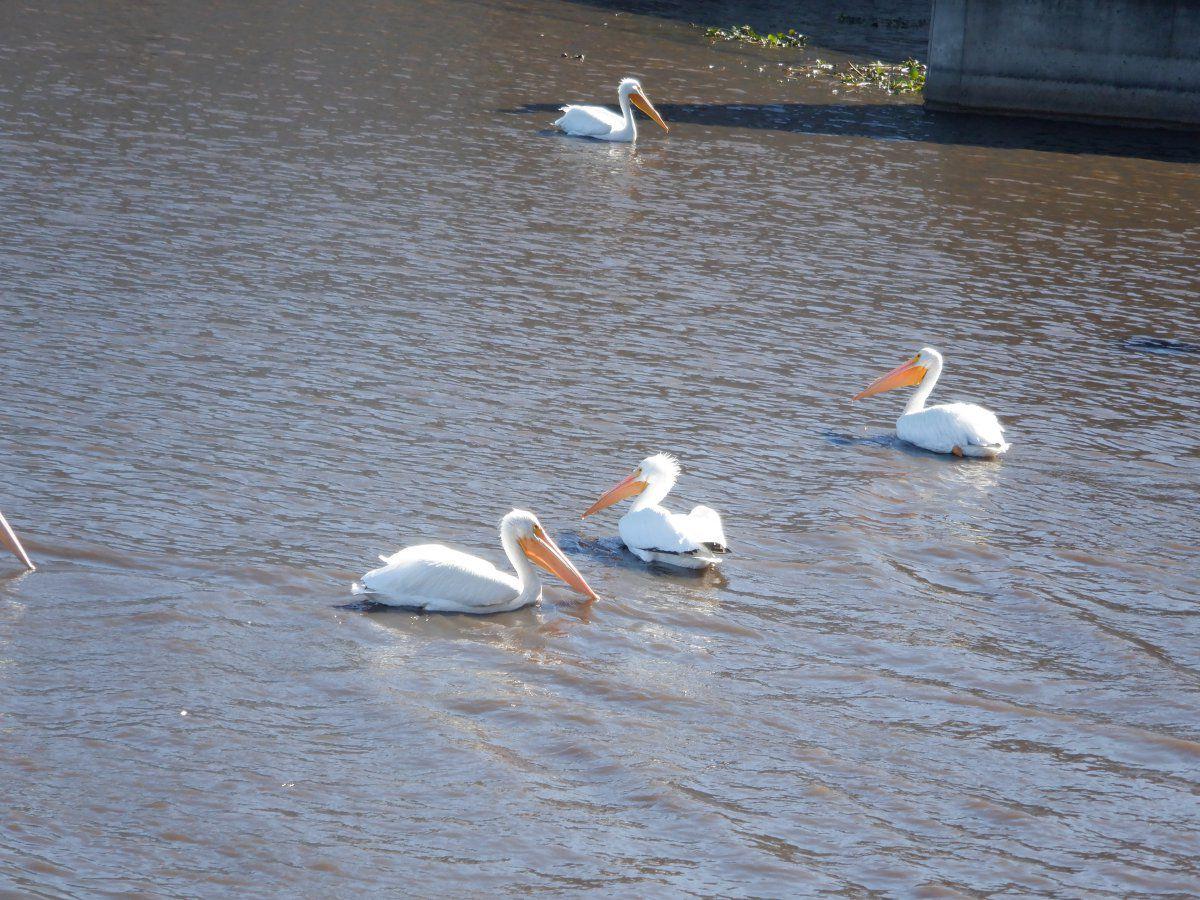 pelicans 005.JPG