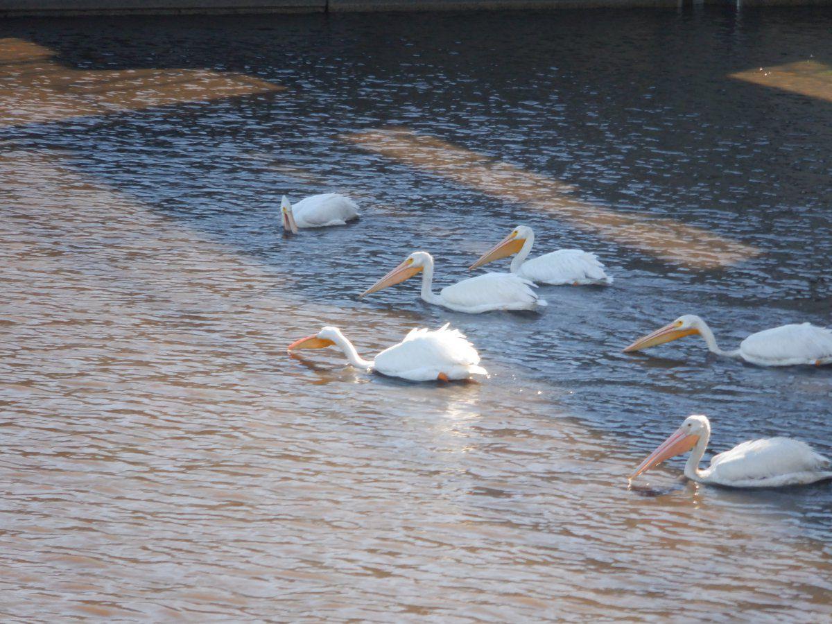 pelicans 007.JPG