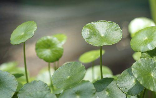 Pennywort-Hydrocotyle-Pic-2.jpg