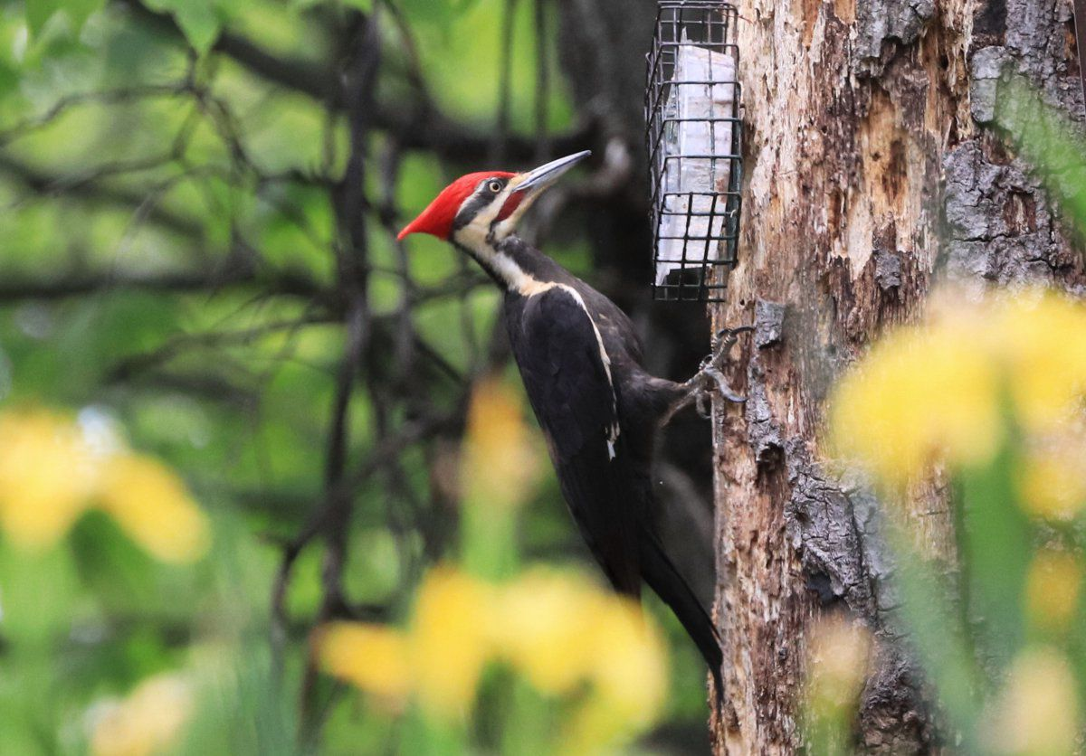 pileated woodpecker 01.jpg