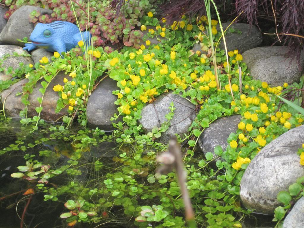 plants - creeping jenny (2).jpg