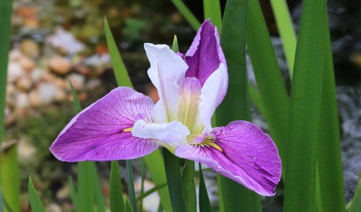 pond iris 02.jpg