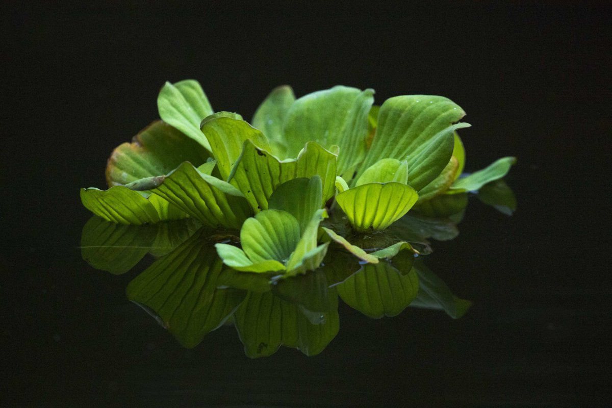 pond lettuce (1 of 1).JPG