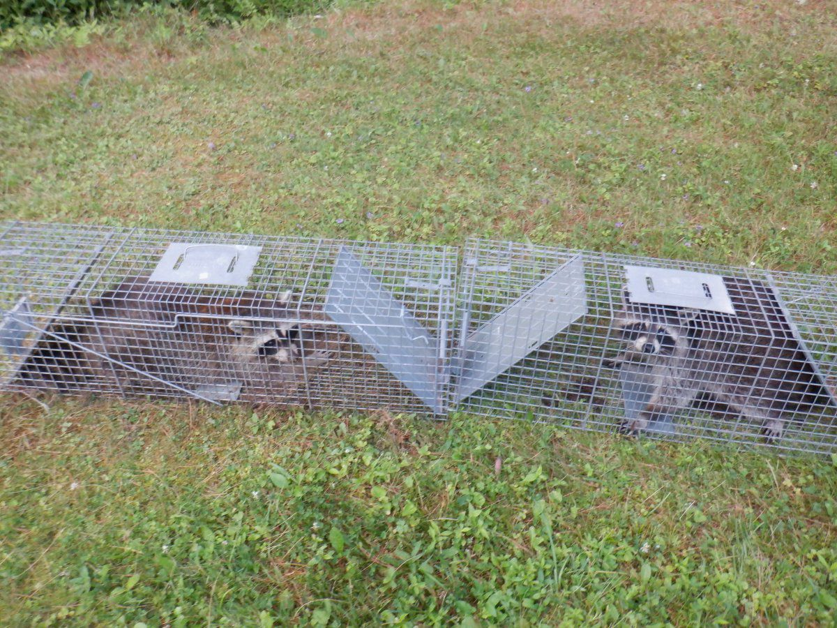 raccoon pics 2020 001.JPG