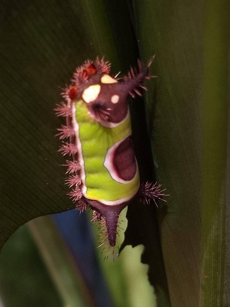 Saddleback Cattapillar.jpg