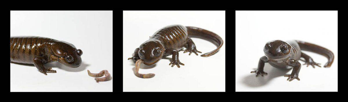 salamander triptyche.jpg