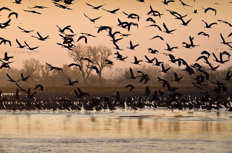 sandhill cranes on the Platte.jpg