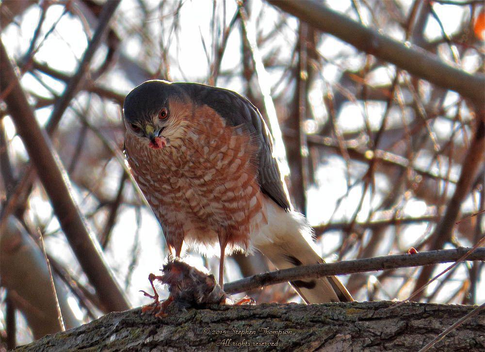 sharp-shinned hawk 2902.jpg