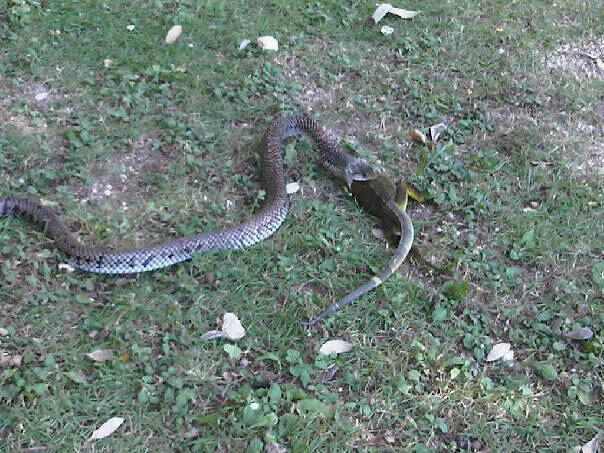 Snake iggie.jpg
