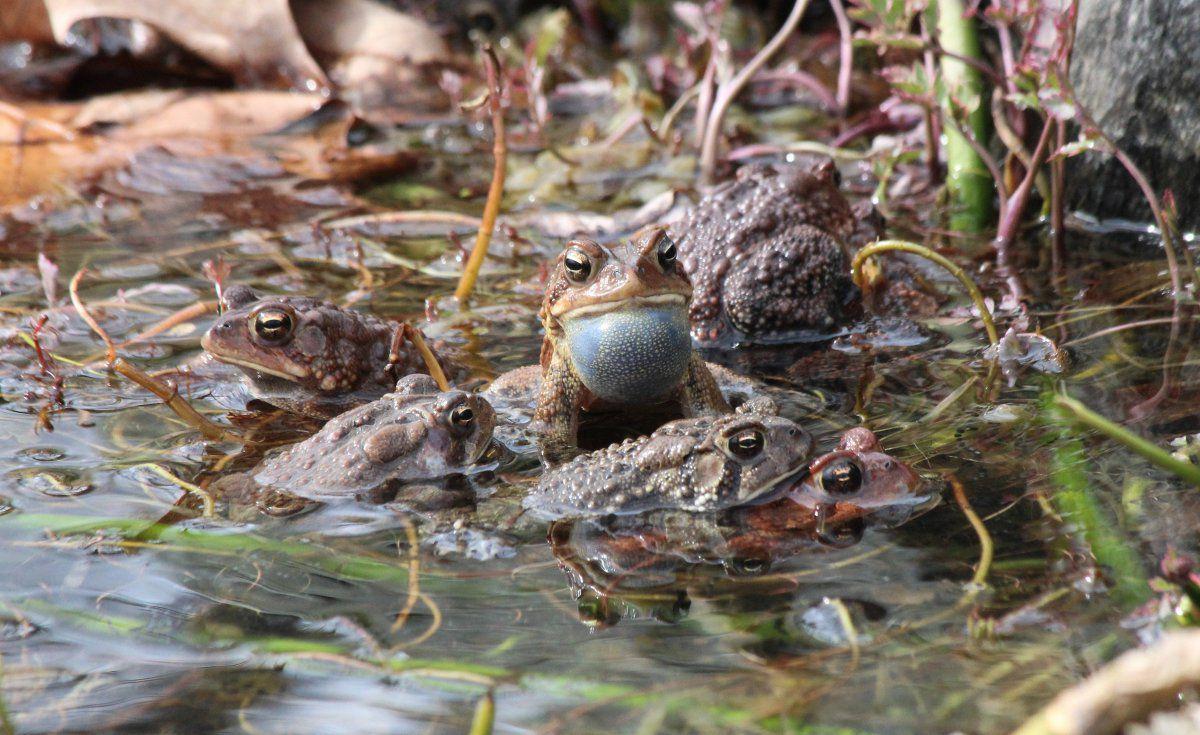 toad spawn more 14.JPG
