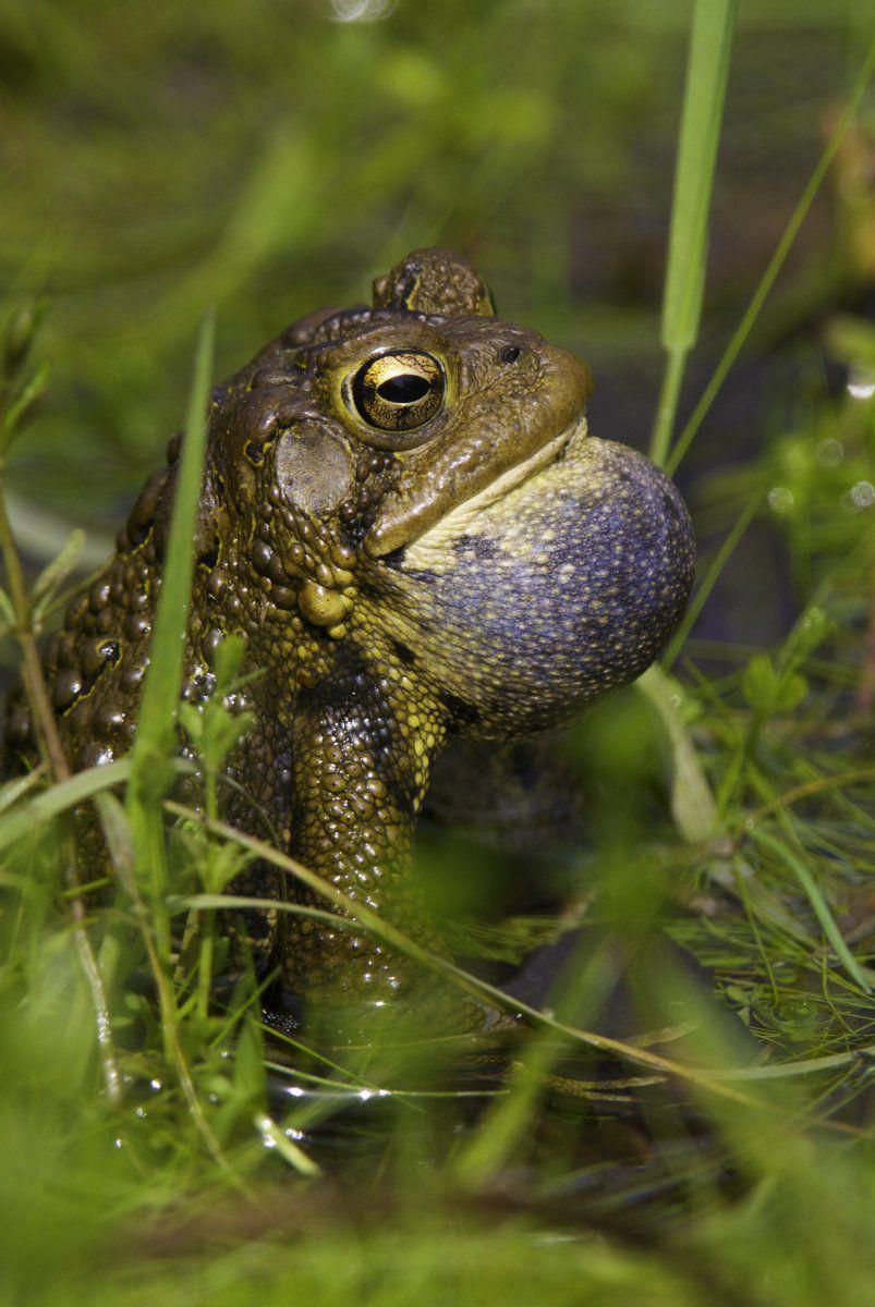 toad throat -1.JPG