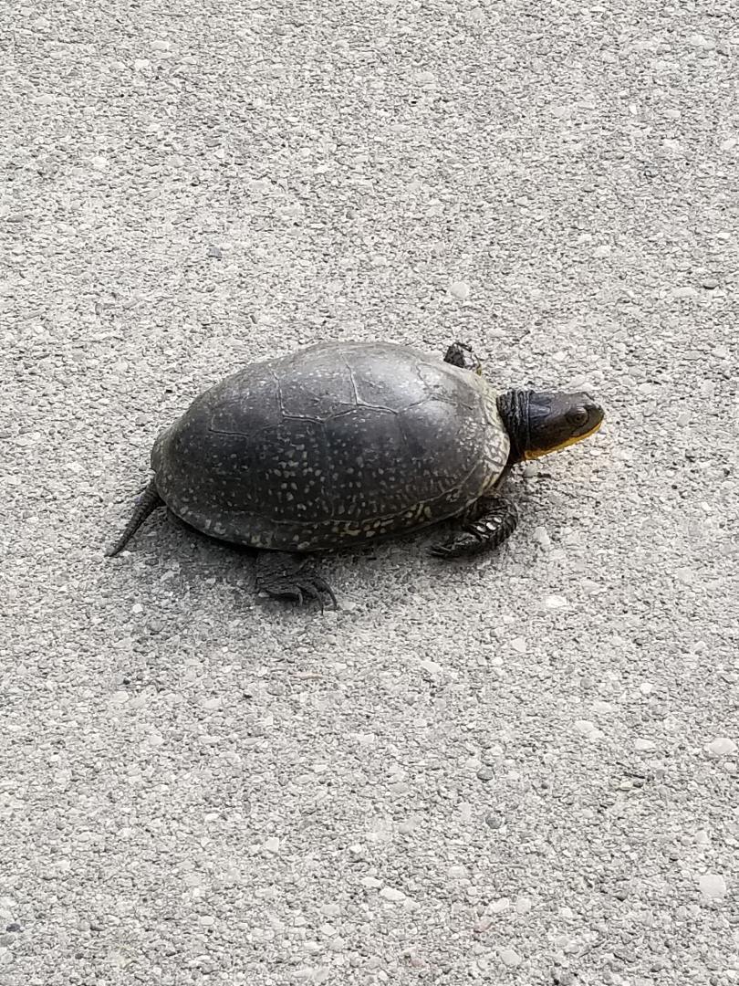 turtle on driveway.jpg