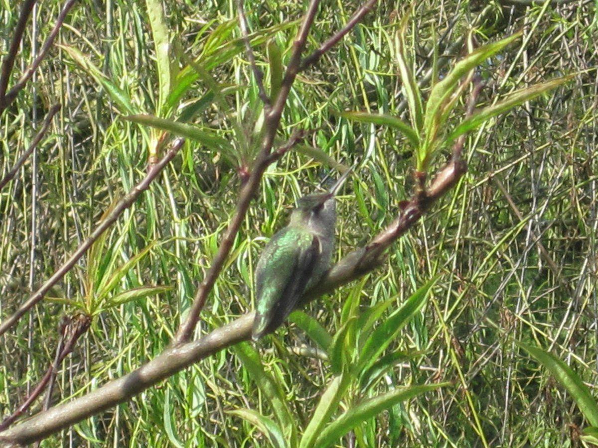 uploadjpeg with hummingbird migration map Hummingbird Migration