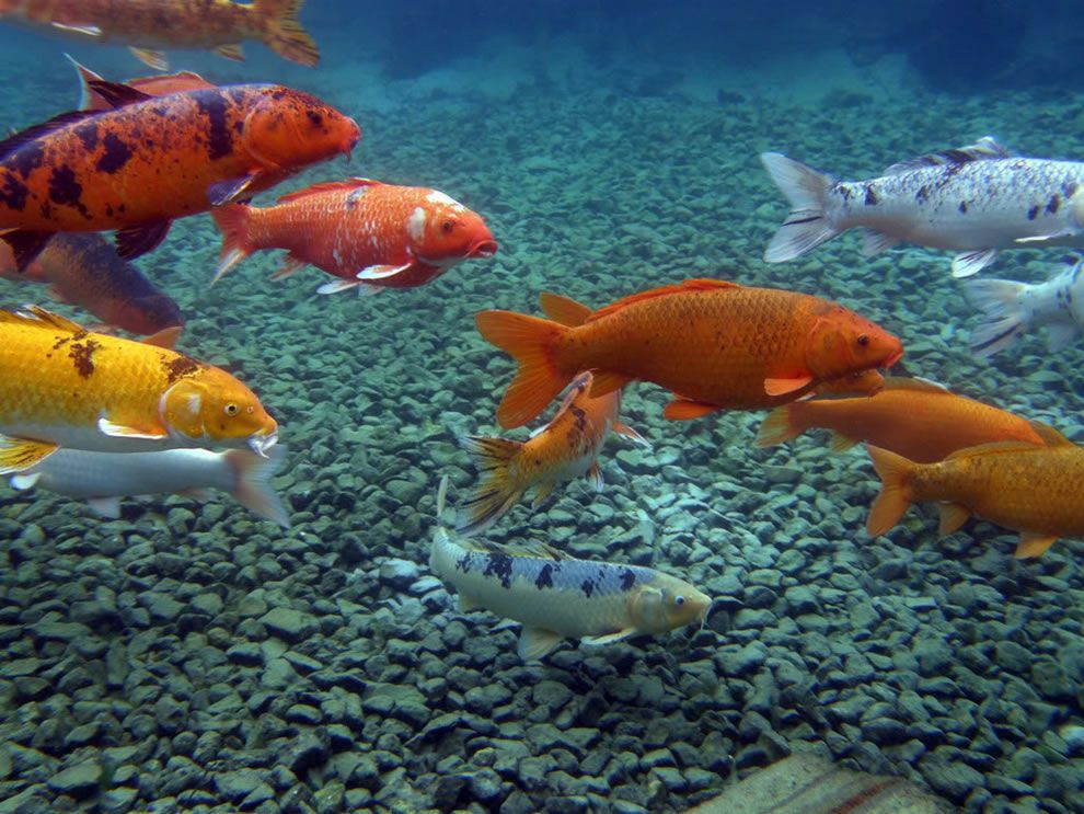 The best koi pond ever garden pond forums for Spring water for fish tank