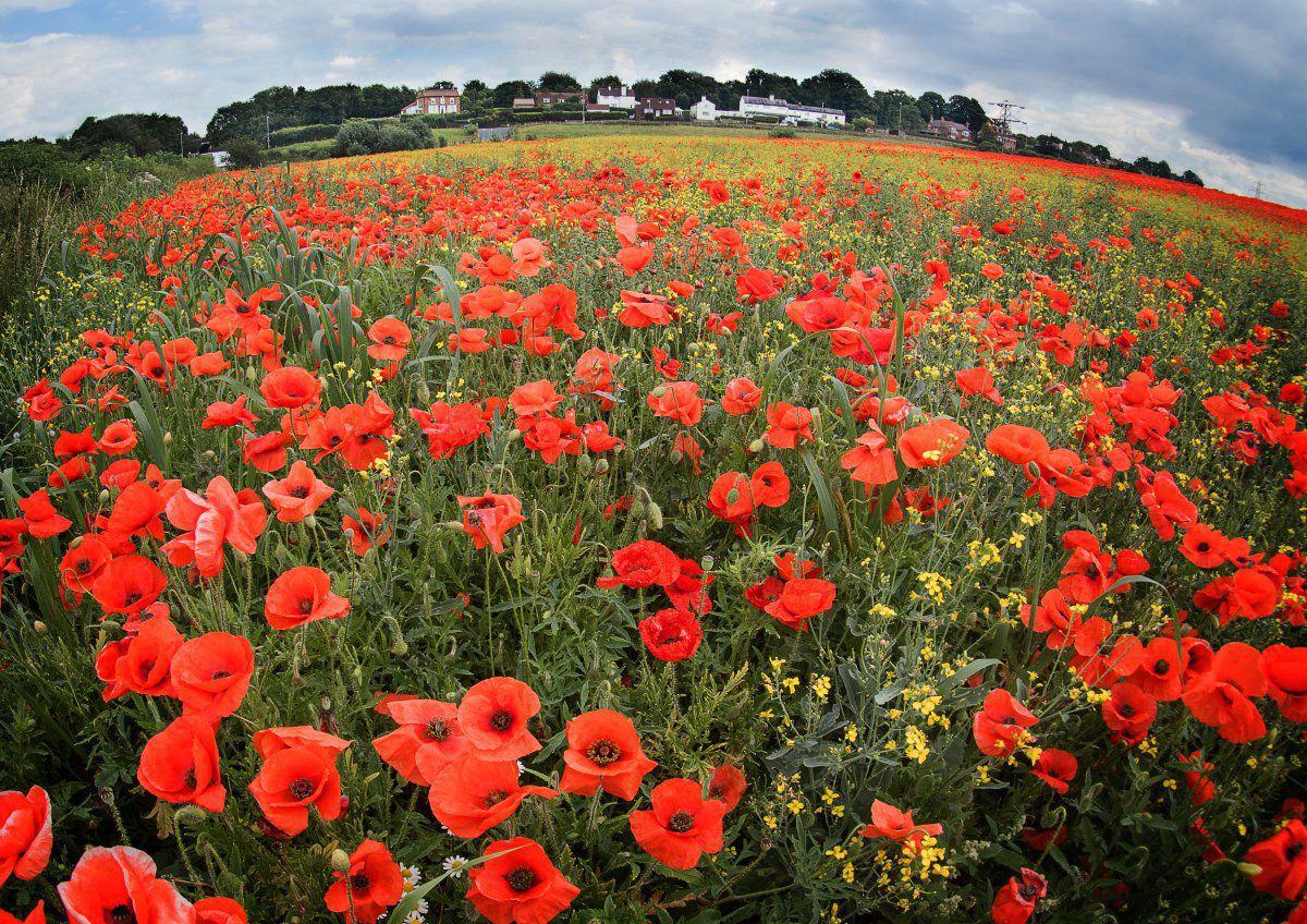 Walton Poppies.jpg