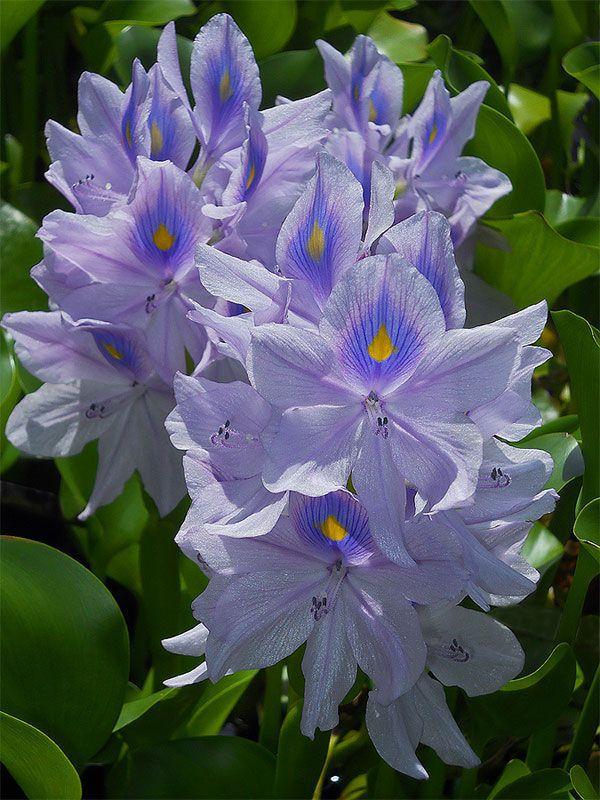 water_hyacinth8_gpf.jpg