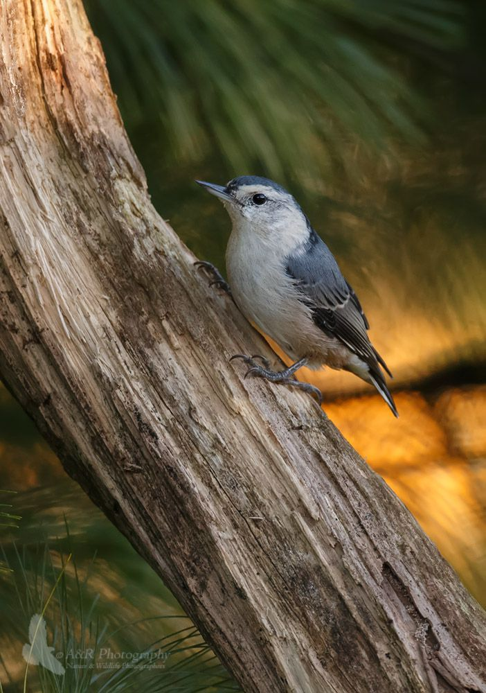 White-breasted Nuthatch gpf.jpg