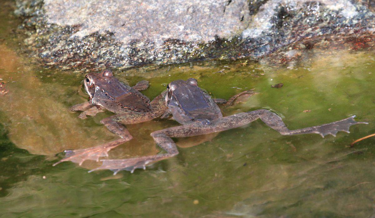 Wood Frogs arrive 09.jpg