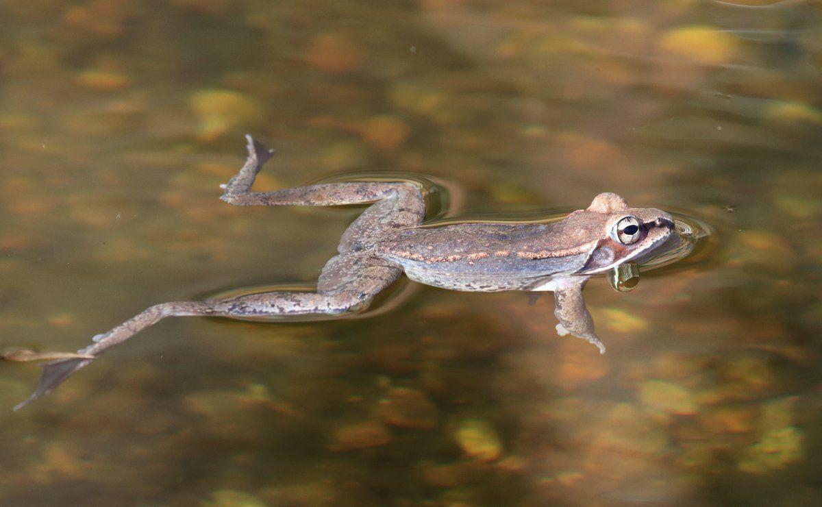 Wood Frogs arrive 13.jpg