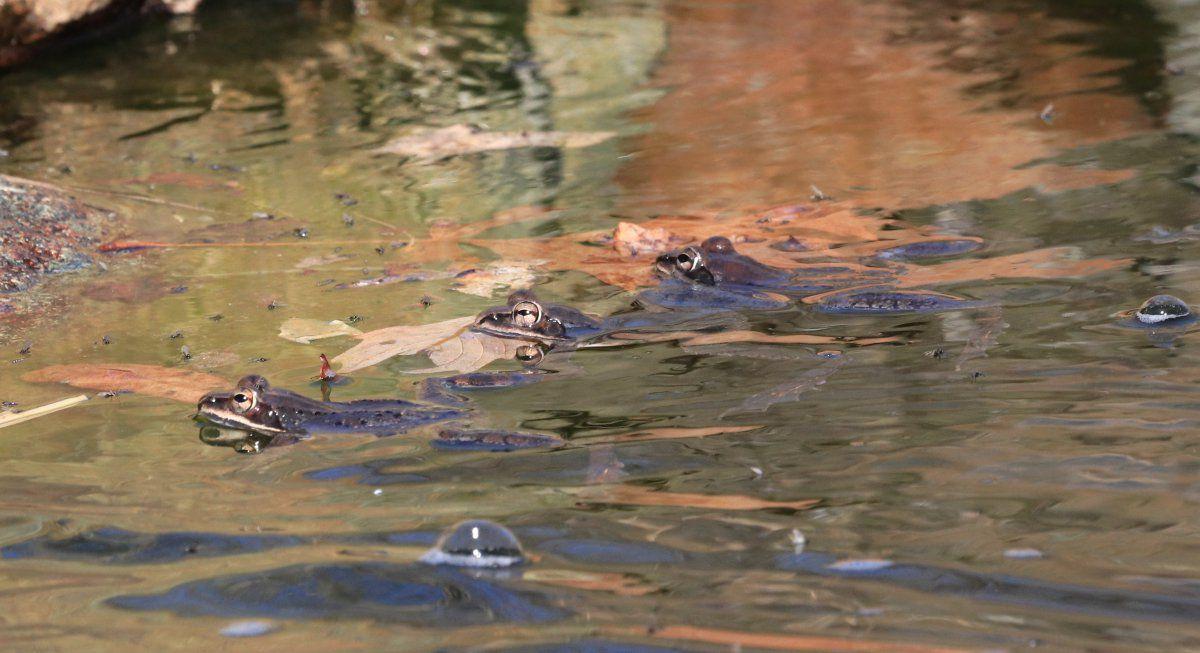 Wood Frogs arrive 14.jpg