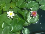 Water lilies and patio