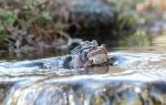 wood frogs more 03.jpg