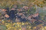 toad spawn more 05.JPG