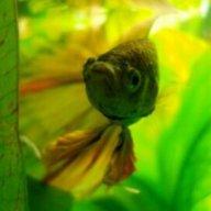 bettasngoldfish