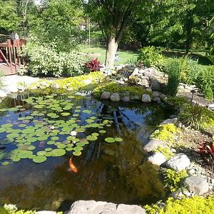 Our koi pond garden pond forums for Koi pond forum