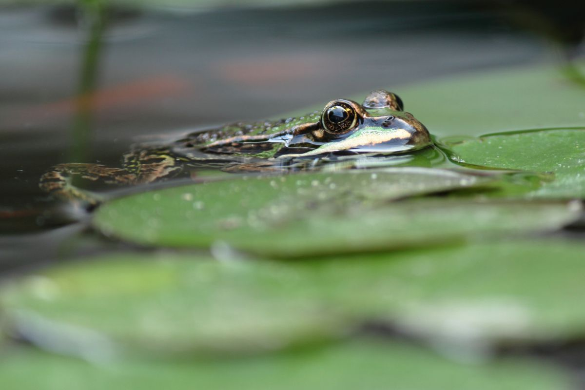 The only frog to ever stay near my pond