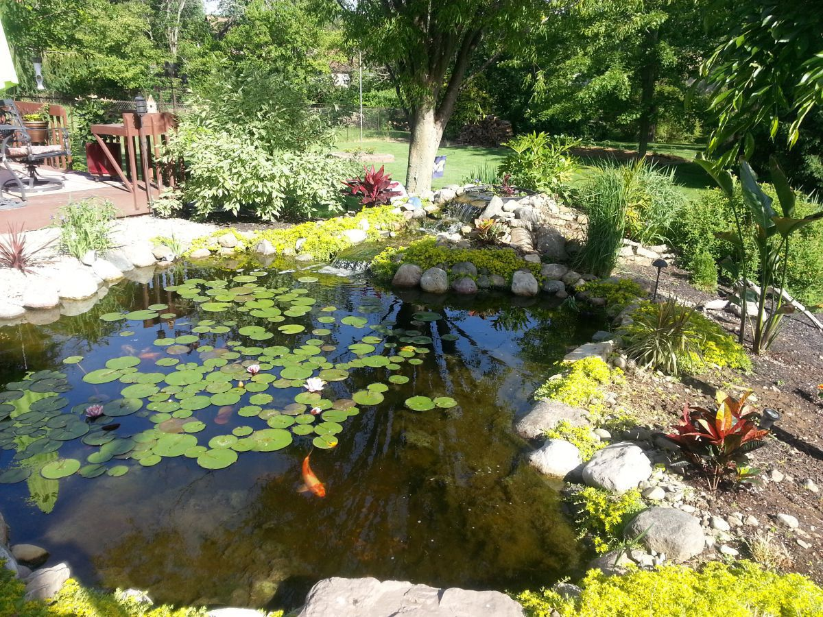our koi pond garden pond forums